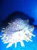 Sponoylus butleri conchiglia